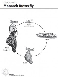 life cycle monarch
